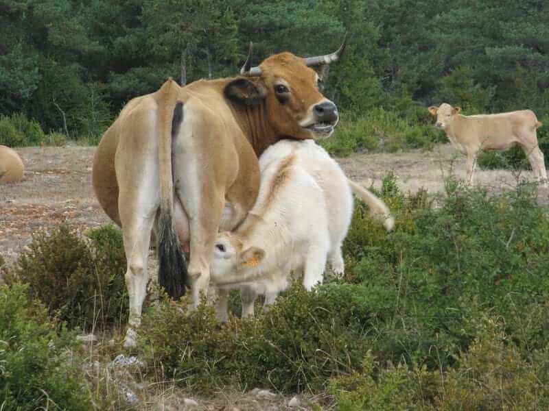 רגישות לחלבון חלב פרה בתינוקות יונקים
